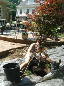 Installing a Japanese maple.