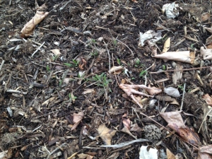 "The ""Oertel's Rose"" yarrow is starting to creep."