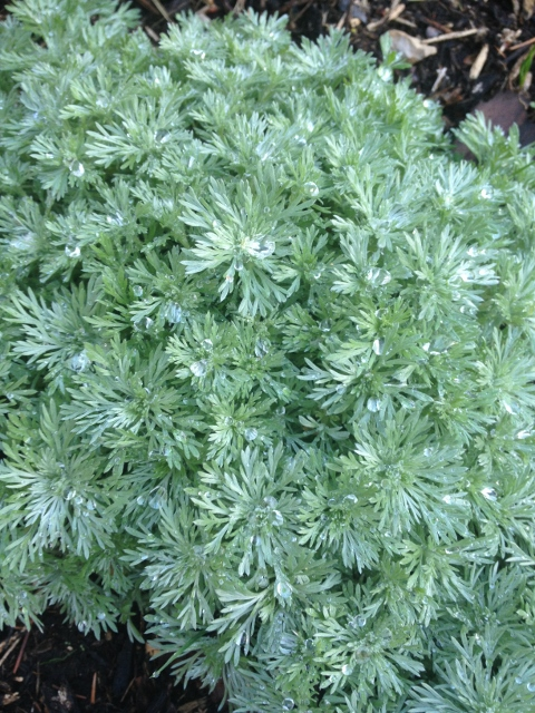 This silver mound is vigorous and hardy and is a wonderful groundcover at the edge of the patio bed.
