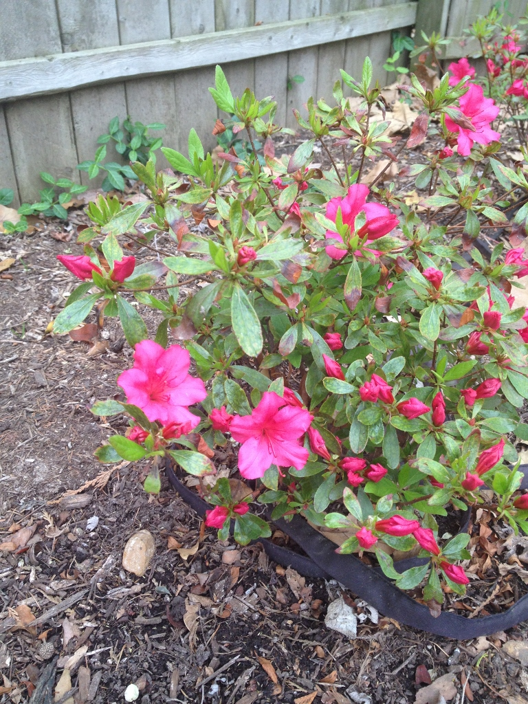 I am glad to see this shrub blooming. I see azaleas all over St. Louis and really like them, but have a hard time growing them. I plan to move my azaleas to a new location this fall in the hopes that a new spot will be better