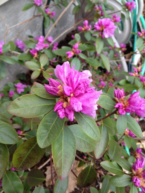 The rhododendron got the worst of the winter and suffered lots of leaf scorch. It's blooms are beautiful though.