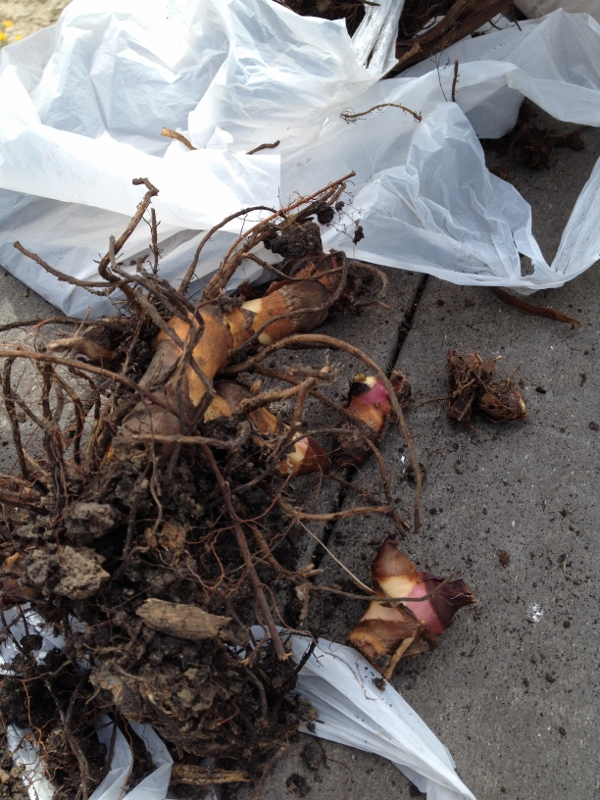 This is what the bulbs look like after much of the soil is removed