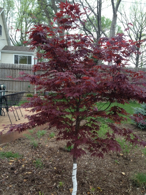Bloodgood Japanese Maple was the centerpiece of my gardens and the first specimen I planted in 2012. In fact, it was the first tree I had ever planted. During spring the leaves seem to change color daily.