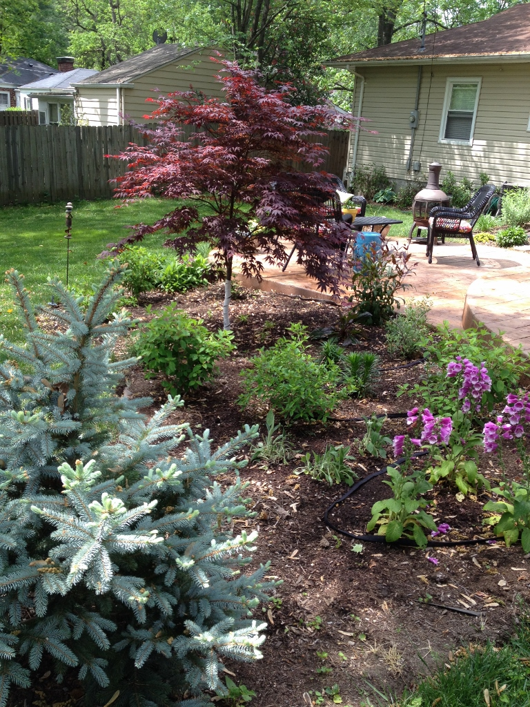The newly planted foxglove provided lots to look at as the garden got under way in spring. I love the maroon shades of the maple with the blue of the spruce