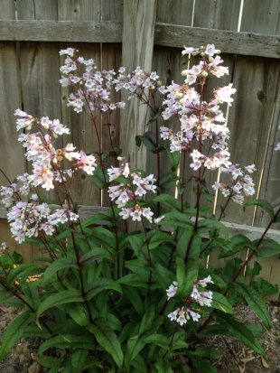 I love the delicate pink and white blooms on the deeply hued stems of penstemon.