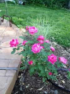 Ribbon grass grows behind this pink rose.