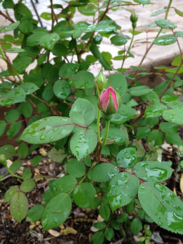 rose bud (600x800)