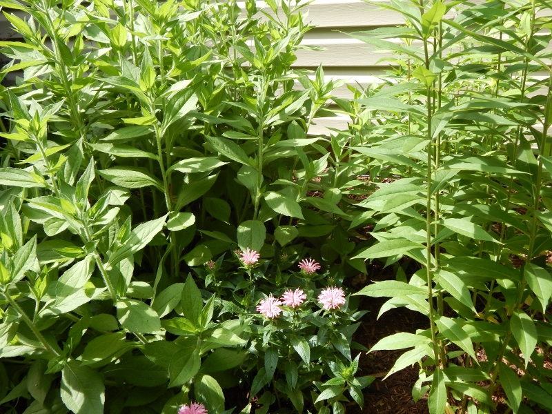 "The young beebalm ""Pardon My Pink"" is dwarfed by black-eyed Susan on the left and tall garden phlox on the right."