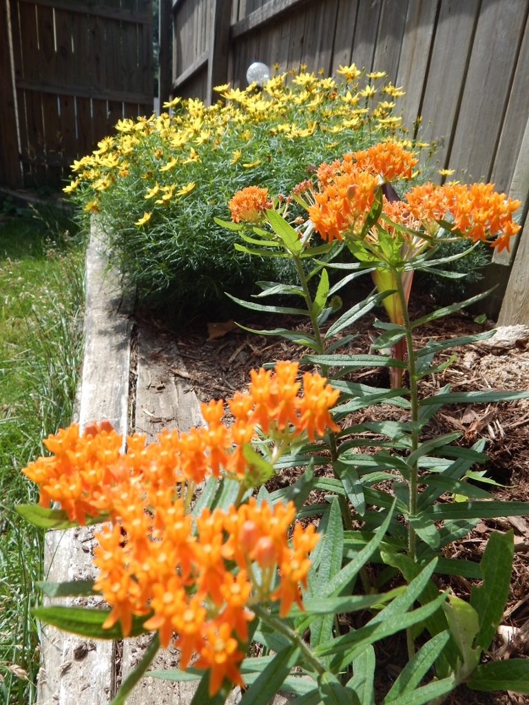 Sizzling in the sun, a nice color combination of yellow coreopsis and orange butterfly milkweed.