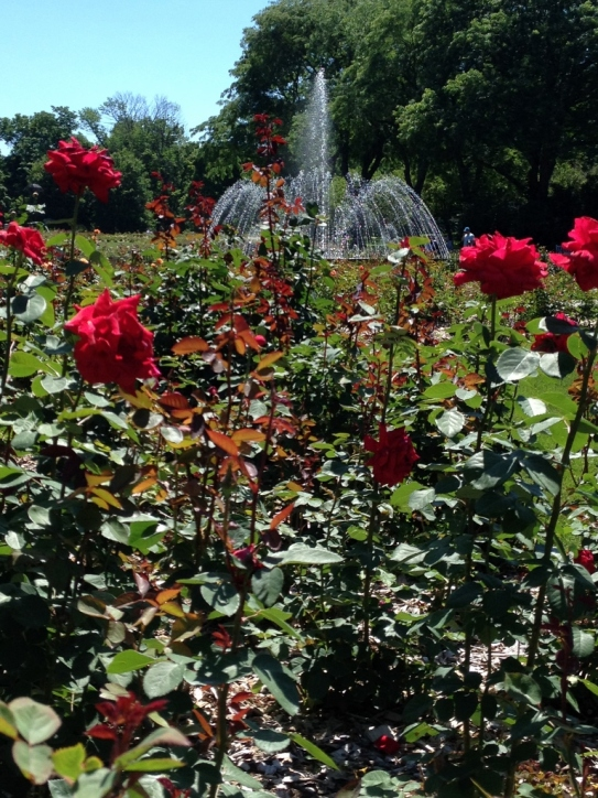 cbus roses and fountain