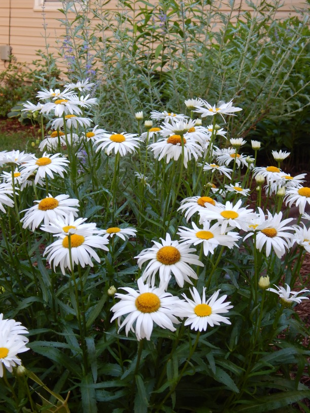 "The sunny yellow eyes of ""Amelia"" Shasta daisy mix well with the soft tones of Russian sage."