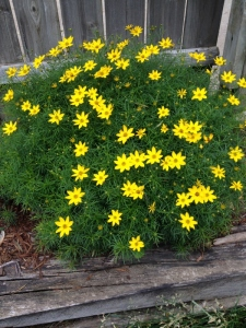 moonbeam coreopsis (600x800)