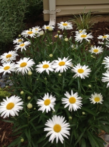 Shasta daisy in bloom