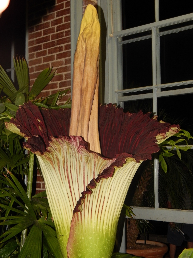 Known as the Corpse Flower and affectionately named Izzy by the Missouri Botanical Garden Staff, this arum's bloom is short lived and its fragrance is memorable.