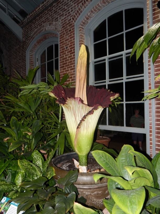 The titan arum was at peak bloom at midnight.