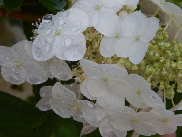 oakleaf bloom