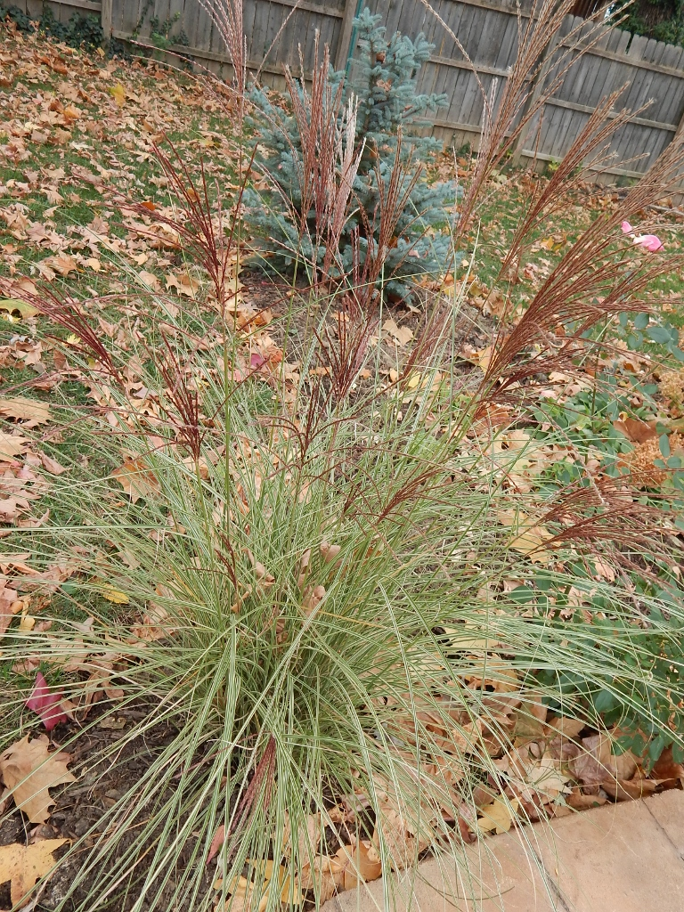 As summer give way to autumn, the rusty brown plumes on this perennial grass contrast well with the blue spruce