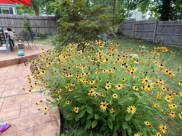 Anchoring the south edge of the patio bed, the rudbeckia is a profusion of blooms in the hottest month of the summer.