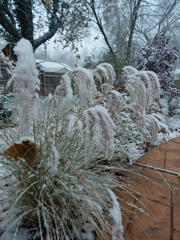 The grasses plumes drape gracefully under the weight of a wet snow.