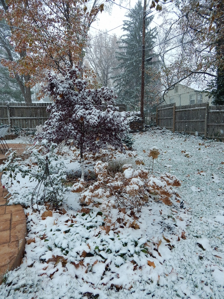 The muted tones of fall beneath a blanket of snow: Harvest brown foliage and faded hydrangea blooms and the tall maple at the top of the bed; maroon leaves on the Japanese maple; and the tall pine in my neighbor's yard.