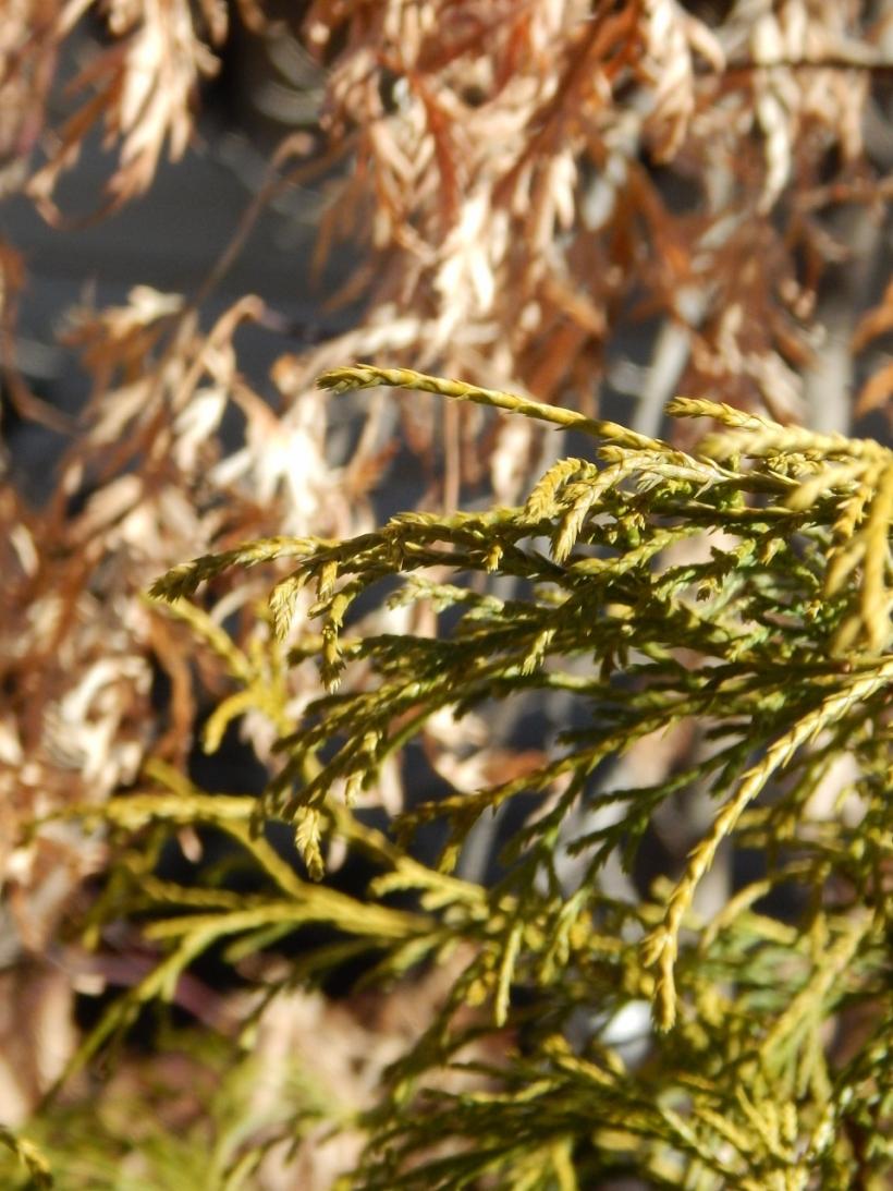 Cypress January
