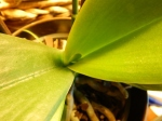 Orchid #2 leaf growth (640x480)