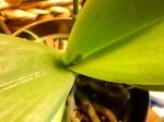 Orchid #2 leaf growth (640x480)