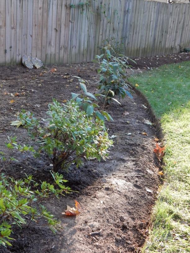 Replanted azaleas 2 (768x1024)