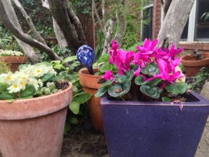 Primrose and cyclamen in bloom in February.