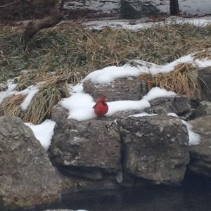 It's still winter. A cardinal provides color to a dull winter landscape.