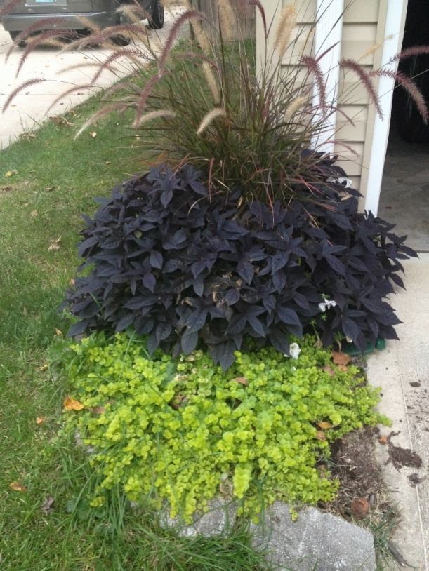 This pot of purple fountain grass, sweet potato vine and creeping jenny help screen the gutter by the front of the garage.