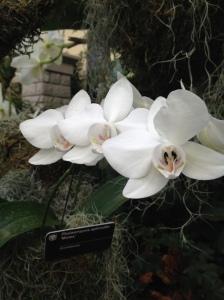 white aphrodite orchid