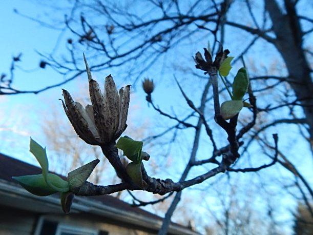 Tulip poplar (640x480)