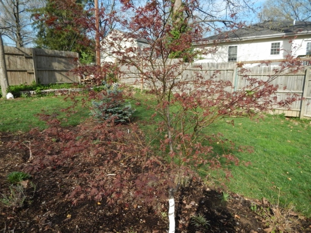 bloodgood maple leafing