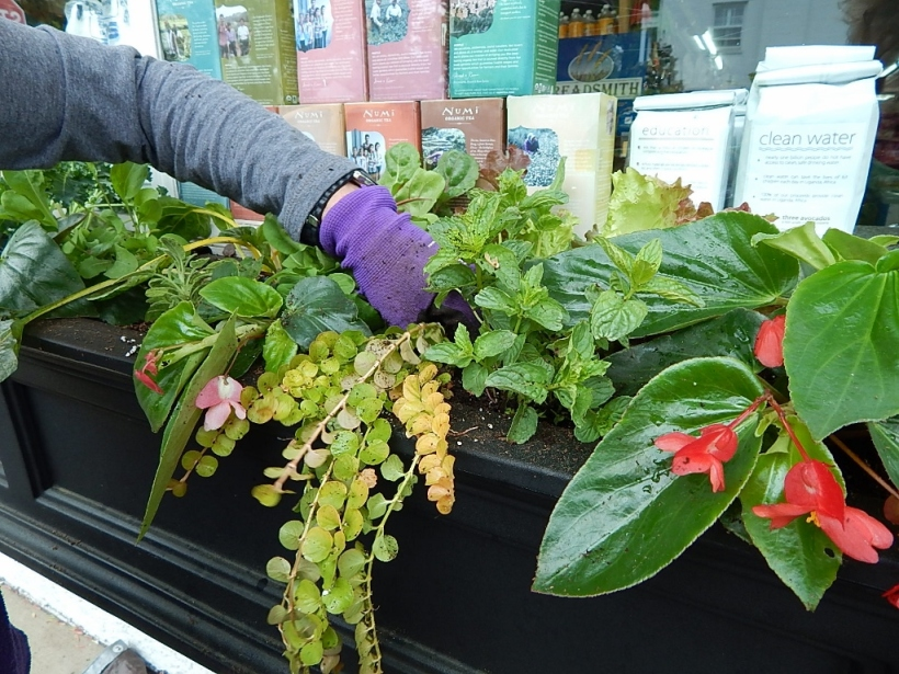 Did you want chard on that sandwich? The window boxes at a local caterer/grocery/deli are filled with greens, herbs, begonia and creeping jenny.