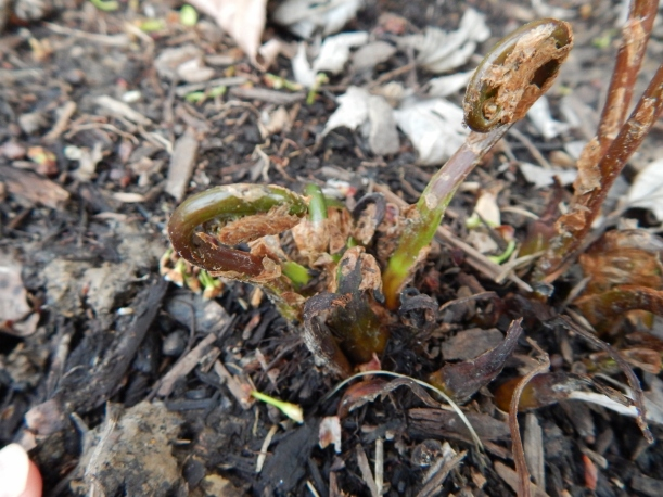 The ferns I planted last summer--and thought would not return--are back!