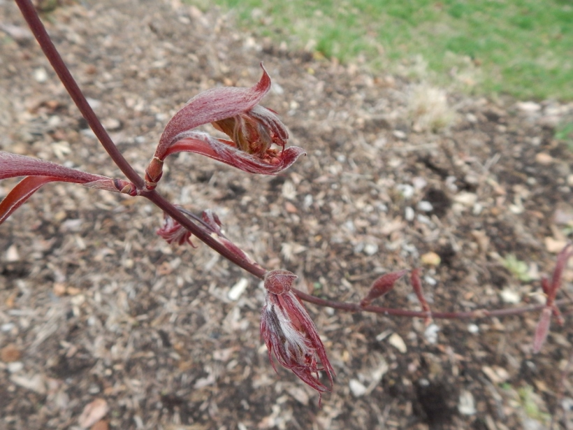 Bloodgood Japanese Maple--Acer palmatum
