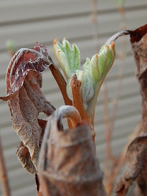 Oakleaf Hydrangea April