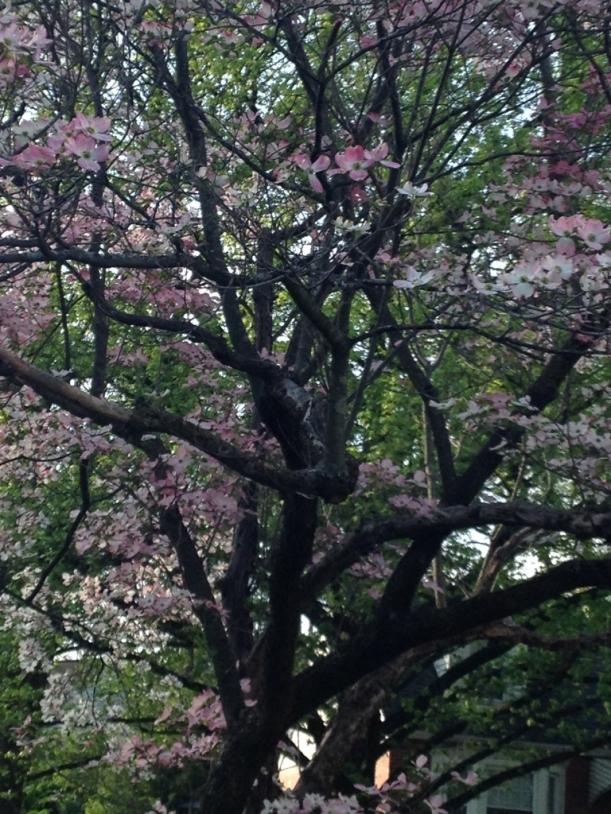 pink dogwood II