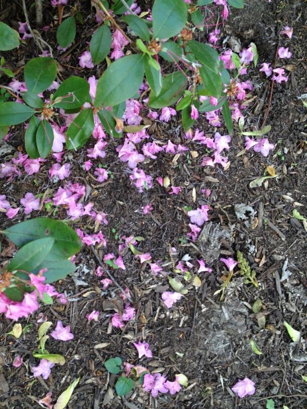 pink rhododenddron