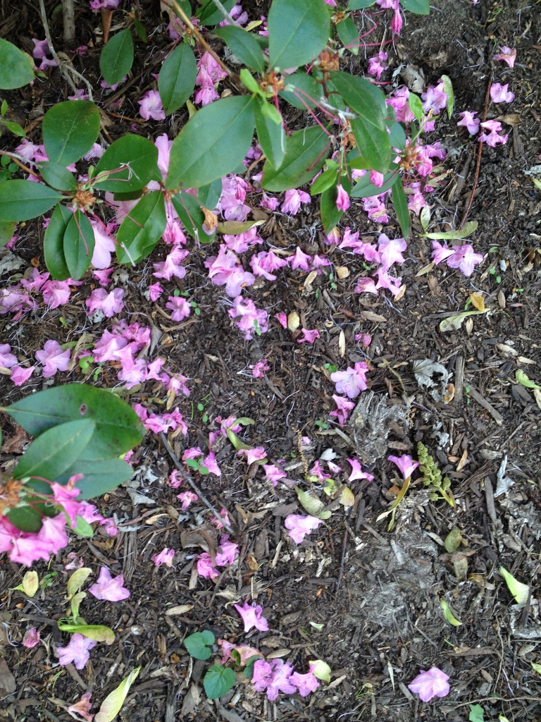 pink rhododenddron