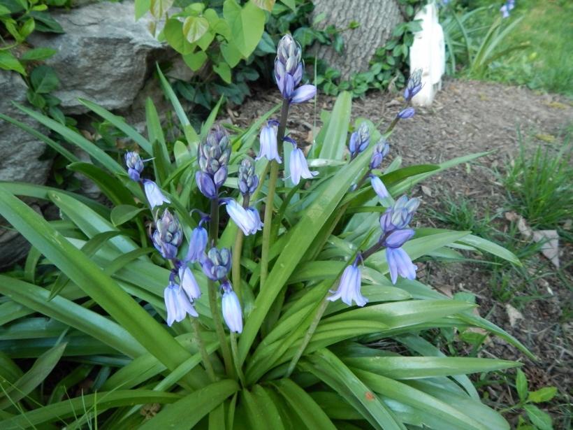 Spanish bluebells I