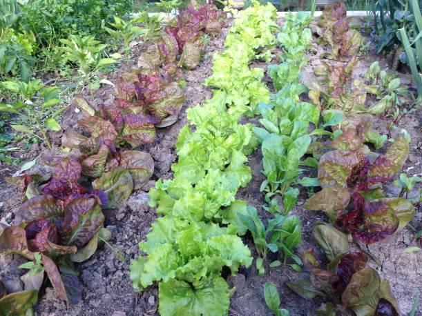 Stevan lettuce2