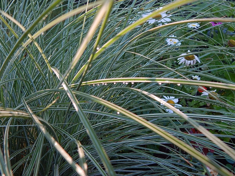 Raindrops cling to gracefully arching spears of green and white ribbon grass.