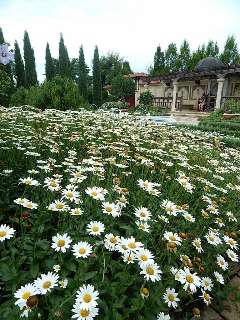 Ottoman Shasta daisy