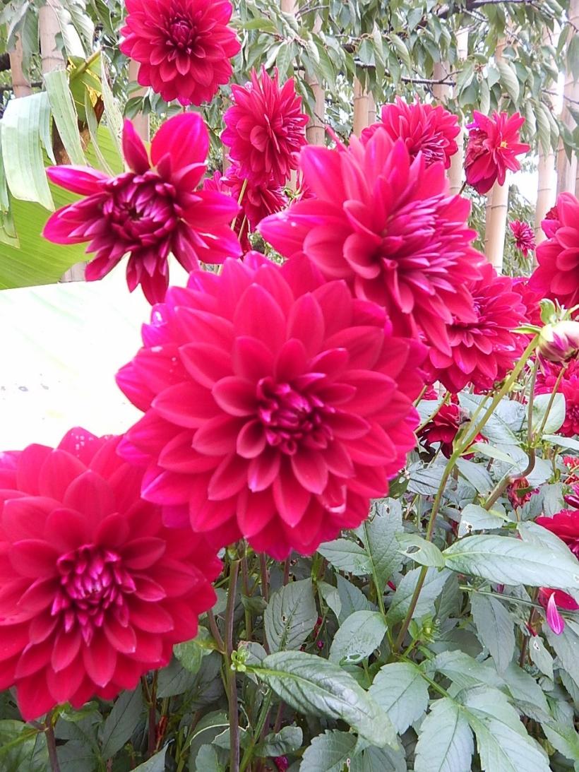 Dahlias hortus (960x1280)