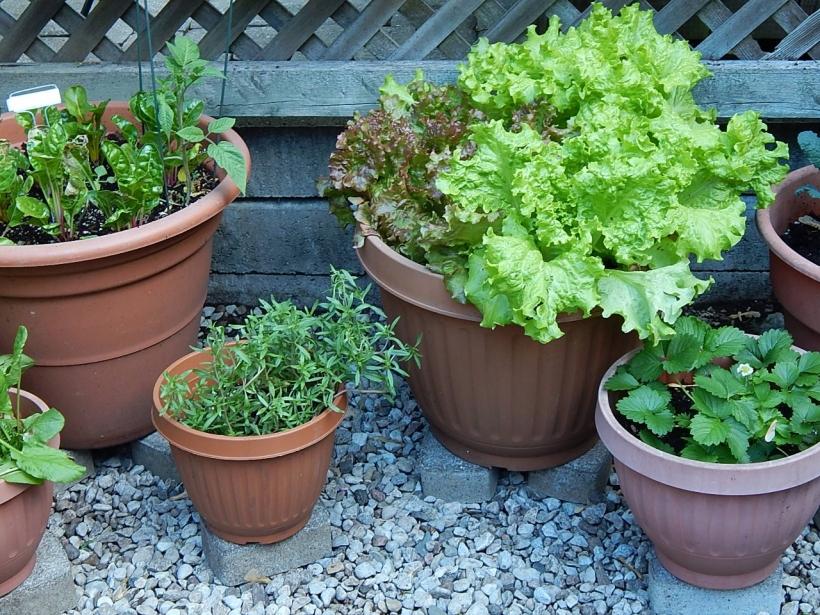 Edibles in pots(1280x960)