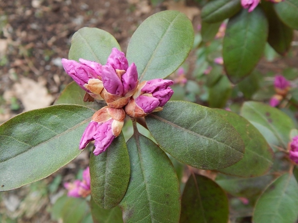Rhodo in bud March 20 (1024x768)