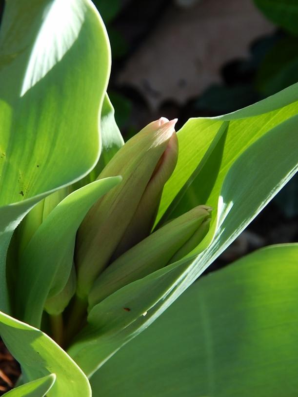 Tulip buds (960x1280)