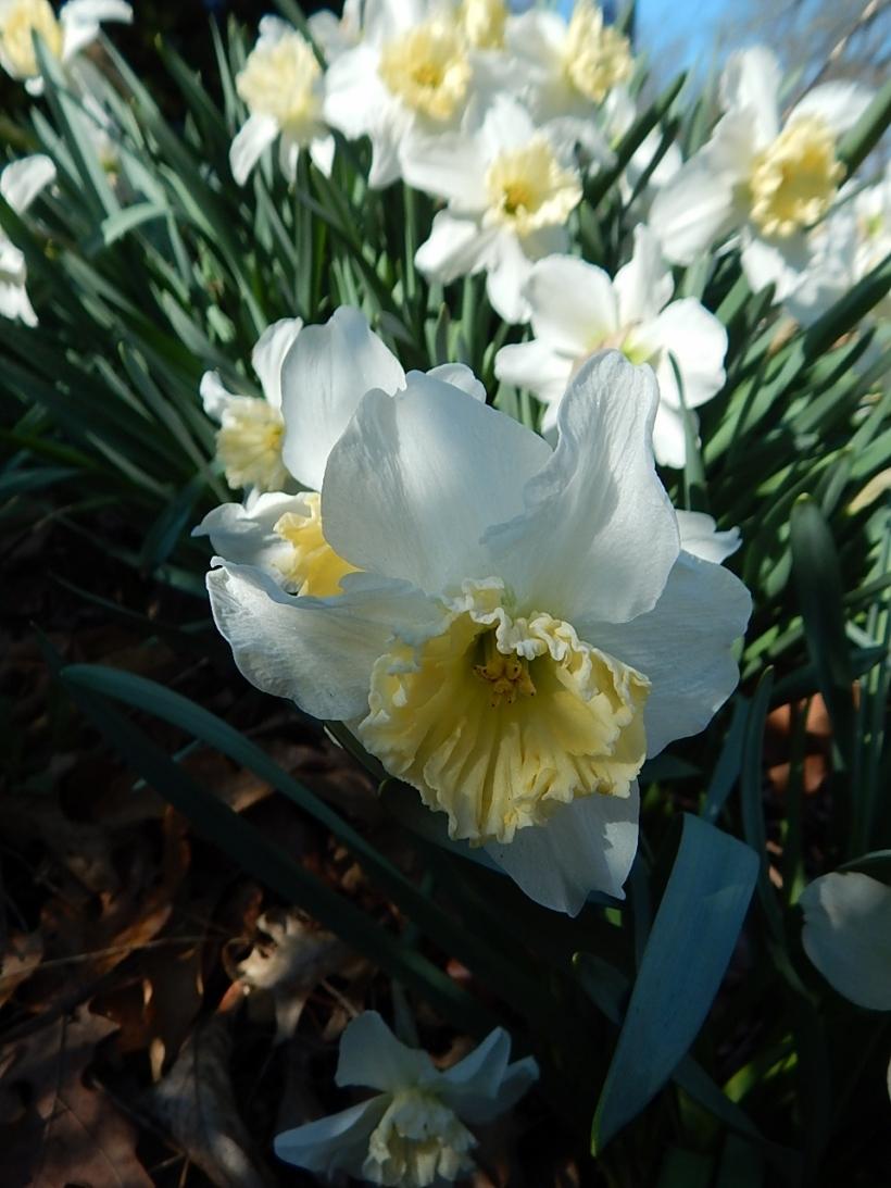 White daffodil (960x1280)